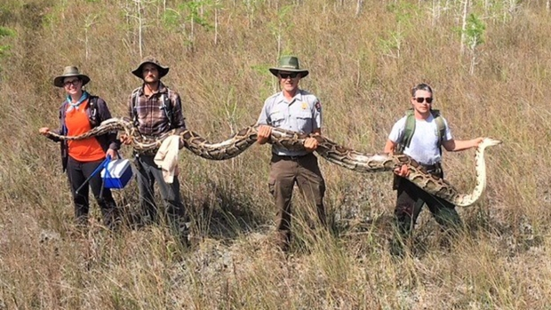 [NATL] Unbelievable Animal Stories: Massive 140-Lb. Python Found in South Florida Preserve