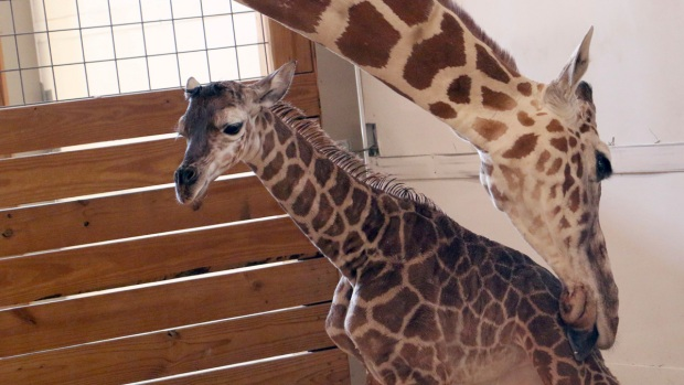 Adorable Zoo Babies April the Giraffe's Calf