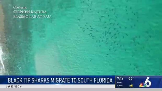 [MI] Black Tip Sharks Migrate to South Florida
