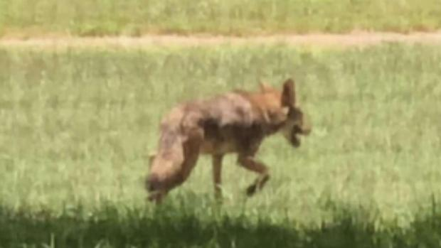 Coyotes Spotted in Oakland Park Neighborhood