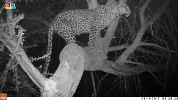 Researchers Use Scents to Lure Leopards for Photographs