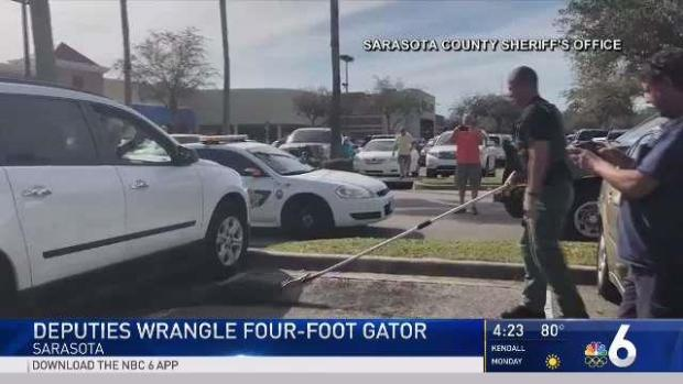 Deputies Wrangle Gator Under SUV Outside Grocery Store