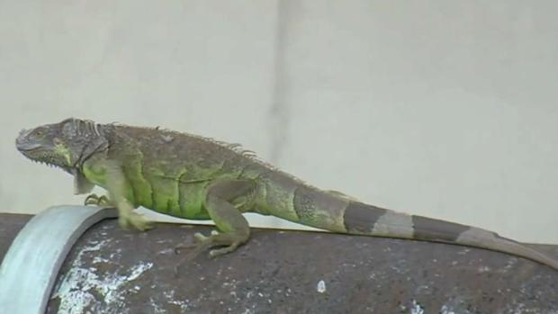 [MI] FWC Officials Want Green Iguanas Killed in Florida