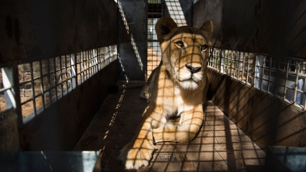 [NATL] 33 Former Circus Lions Arrive at South African Sanctuary