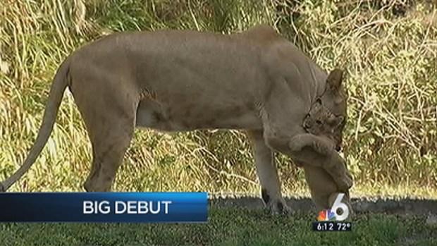 [MI] Lion Cub Debuts at Zoo Miami