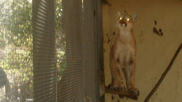 Mountain Lion Gets Trapped in Chicken Coop
