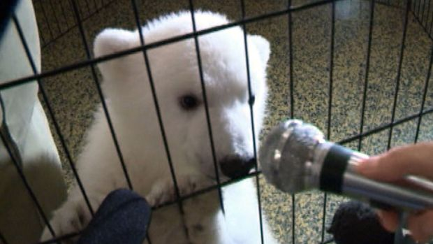 [NEWSC] Polar Bear Cub Too Cute For Words