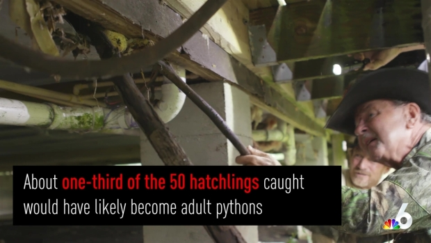 [MI] 16-Foot Python, 50 Eggs Removed from Under House in Everglades