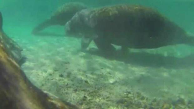 Record Number of Manatees Killed by Florida Boaters
