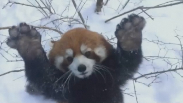 Red Panda Hops Around in Snow at Zoo