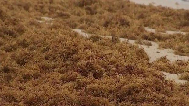 Removal Of Sargassum Seaweed On Miami-Dade Beaches Begins