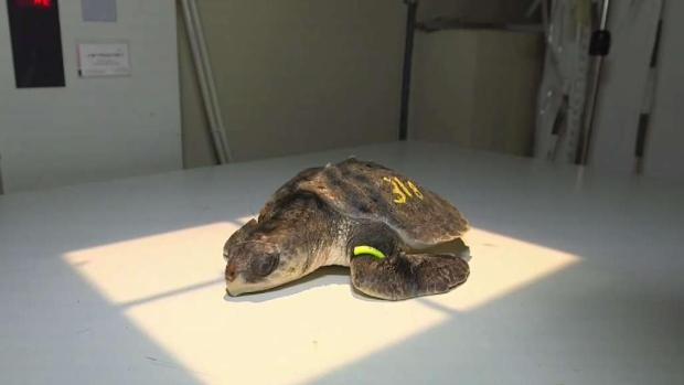 Sea Turtles Sent to Florida Keys to Warm Up