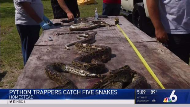 [MI] Snake Hunters Capture 5 Pythons in SW Miami-Dade