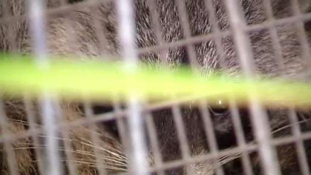 [MI] Third Raccoon Tests Positive for Rabies