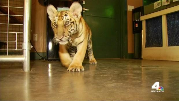 Tiger Cub Found Wandering SoCal Street