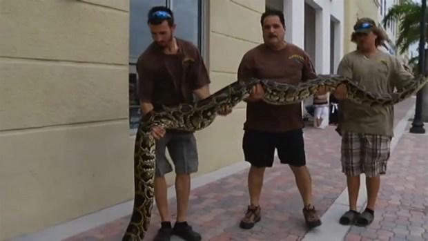 [MI] RAW VIDEO: 14-Foot Python Captured in Everglades