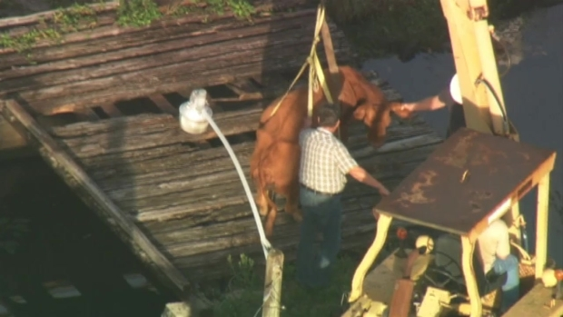 [MI] RAW VIDEO: Davie Cow Rescue