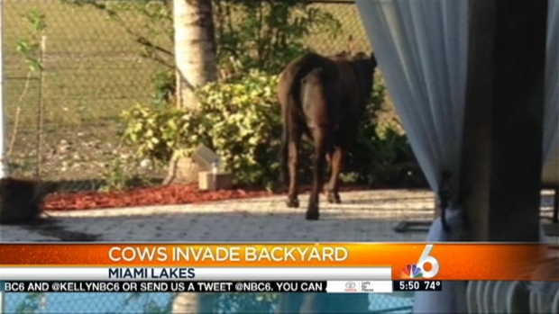 [MI] Cows Invade Miami Lakes Backyard, Leaving a Mess