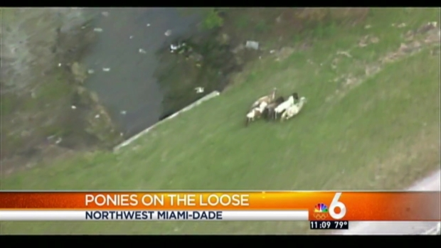 [MI] Ponies Back Home After Running Free in Northwest Miami-Dade