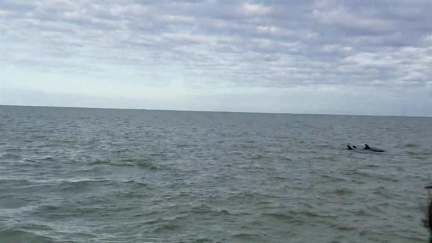 RAW VIDEO: False Killer Whales Caught on Camera Near Stranding Site