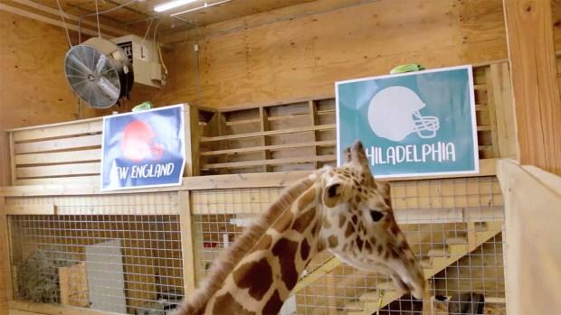 [NATL] April the Giraffe Picks the Winner of Super Bowl LII
