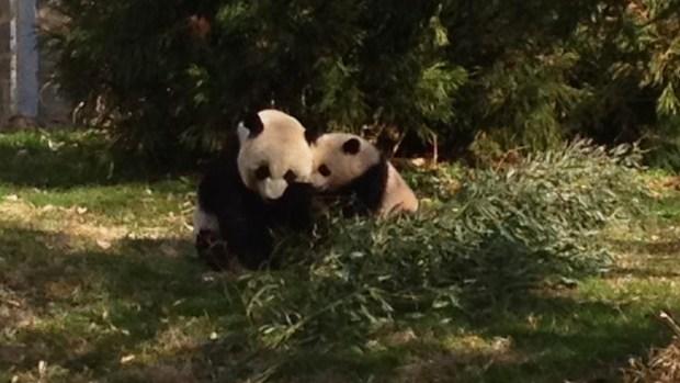 [NATL] America's Favorite Pandas