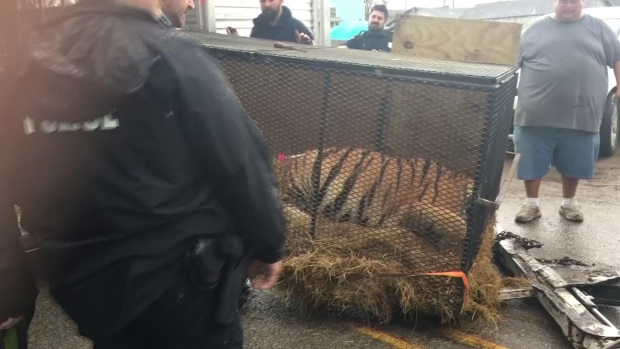 Pot Smokers Find Caged Tiger in Abandoned Houston House