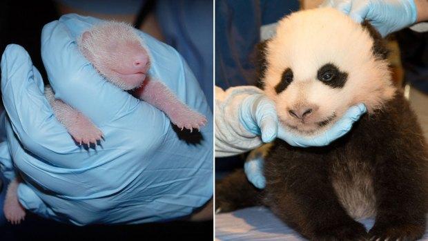 [NATL-DC] National Zoo's Panda Cub: See How She's Grown!
