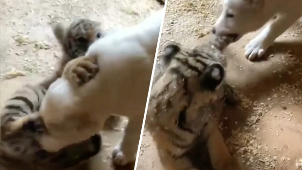 Adorable Zoo Babies: Tiger Cub and Puppy's Rare Friendship