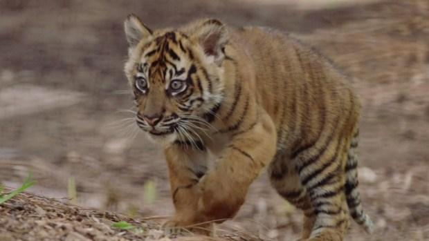 [NATL] 3 Sumatran Tiger Cubs Born at San Diego Zoo Safari Park
