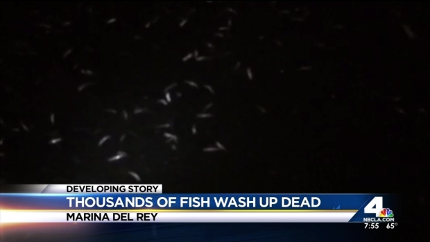 [LA] Dead Fish Wash Up in Marina Del Rey