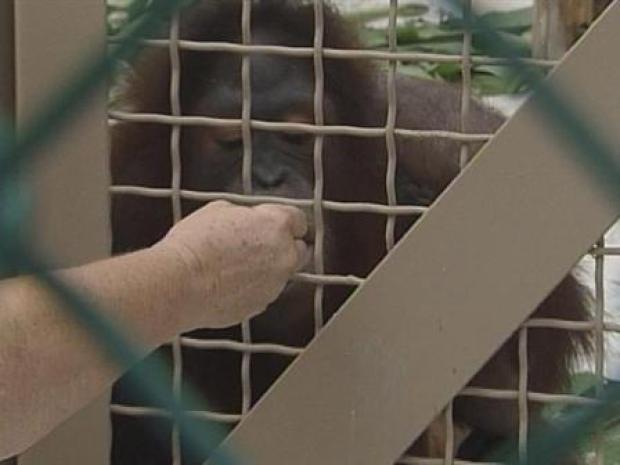 [MI] Chunky Monkey for Twin Orangutans on the Move