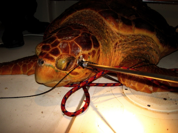 Speared Turtle Recovers in Keys