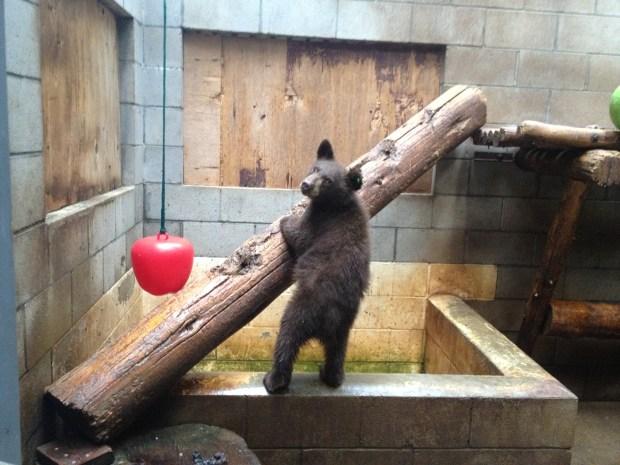 Lake Tahoe Wildlife Care Gets 8 New Bear Cubs