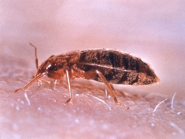 """[CHI] Bed Bugs """"Gross"""" but Not Dangerous, Expert Says"""