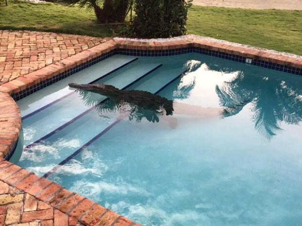Crocodile Swims in Pool