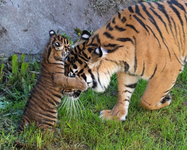 Sumatra Tiger Family at SF Zoo