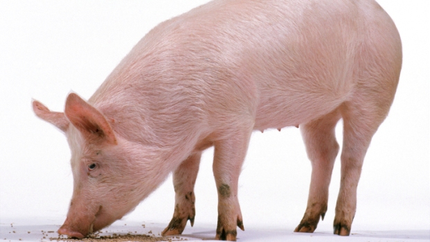 [NATL] Piglets' Lives Threatened by Deadly Virus