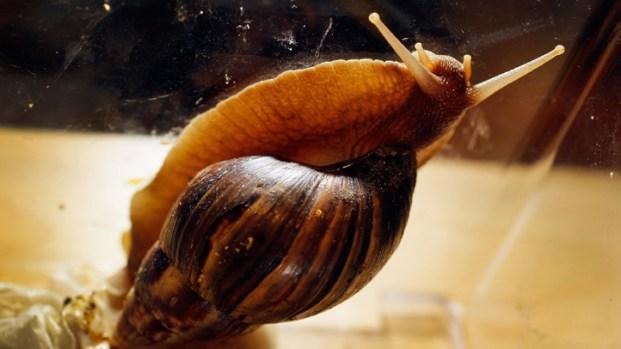 Giant Snails Invading Miami-Dade