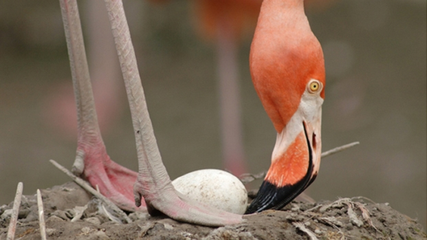 Zoo Miami Flamingo Hatching