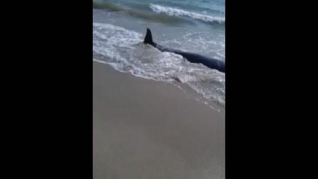[MI] Whales Wash Ashore in Fort Pierce