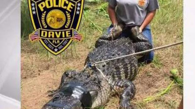 [MI] Deadly Alligator Attack in Davie