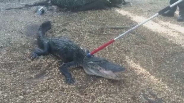 [MI] RAW VIDEO: 8-Foot Gator Named Glimmer Gets Caught