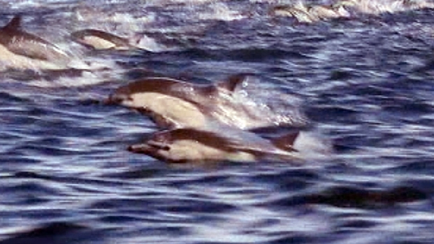 [NEWSC] Caught On Cam: Dolphin Stampede