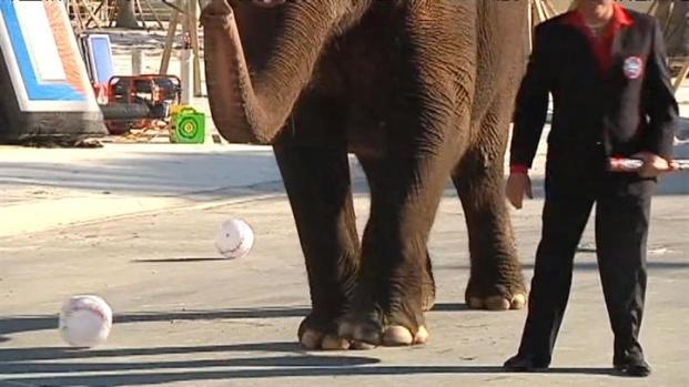 [MI] Elephant Plays Some Ball at Miami Marlins' Ballpark