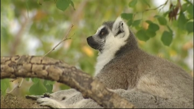 [MI] Ron Magill: Loose Lemurs Highlight Bigger Animal Problem