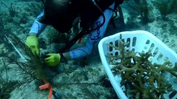 Super Bowl Committee Announces Coral Reef Restoration Project