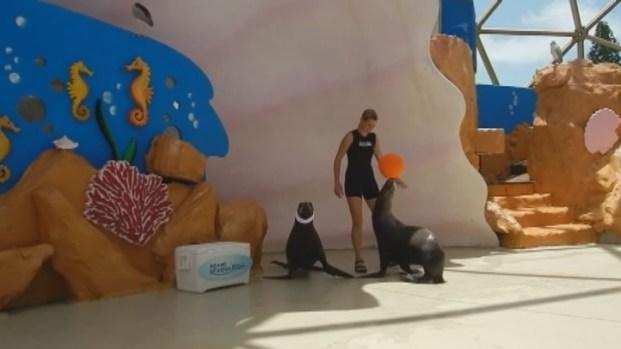 [MI] Sea Lion Spotted Wearing Headband Similar to LeBron James'