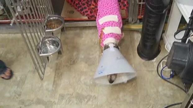 [MI] Burned Dog Lily Gets Bandaged at Animal Clinic