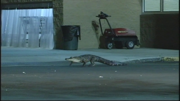 [MI] RAW VIDEO: Alligator Blocks Entrance to Fla. Walmart